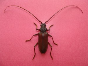 Adult beetle of CSRB