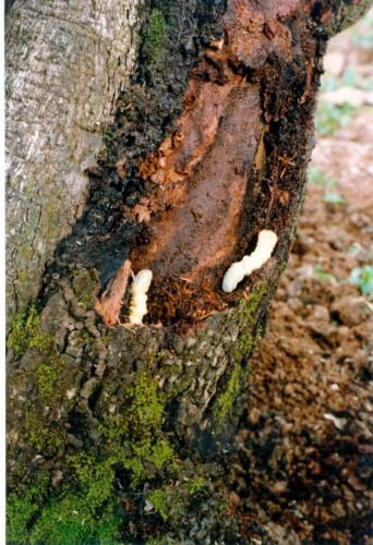 CSRB grubs inside the bark