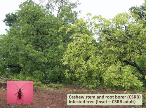 CSRB infested cashew tree