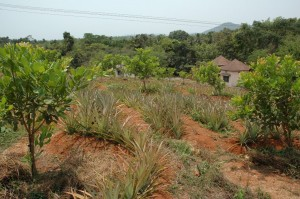 Pineapple as an intercrop in cashew