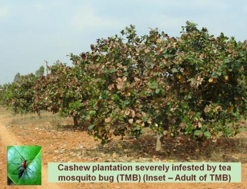 TMB infested cashew plantation